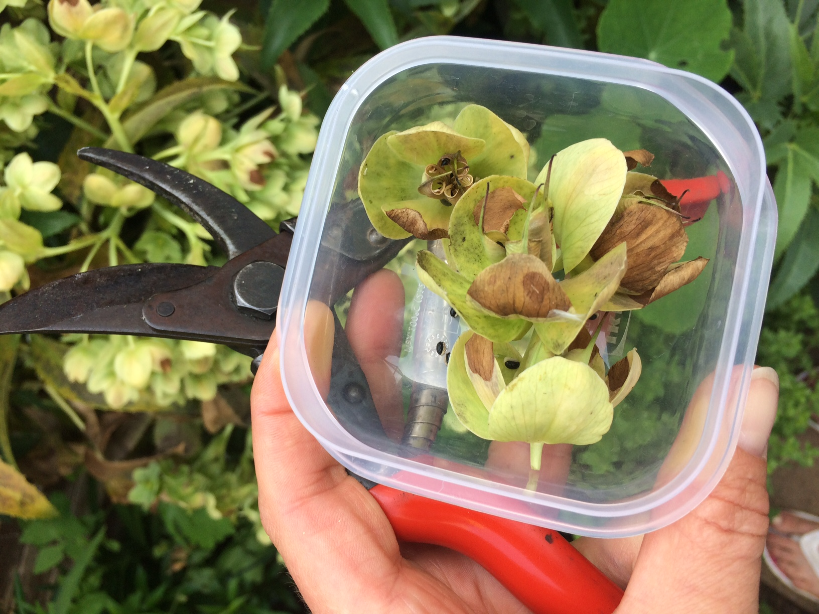 Collecting Hellebore seed heads
