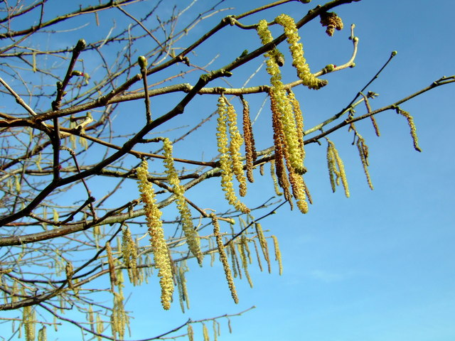 Hazel catkins of lambs' tails