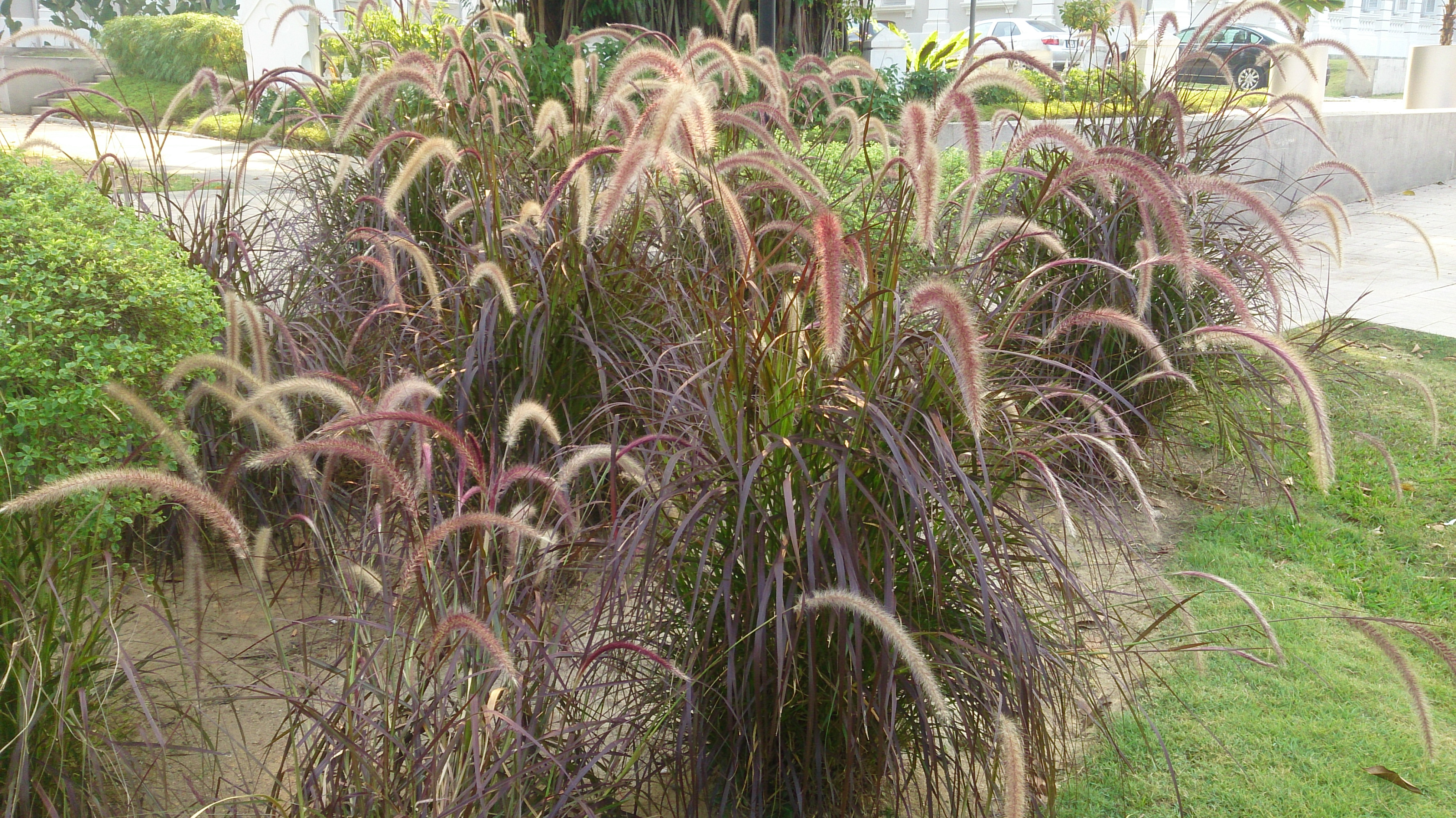 Purple fountain grass (Pennisetum x advena 'Rubrum')