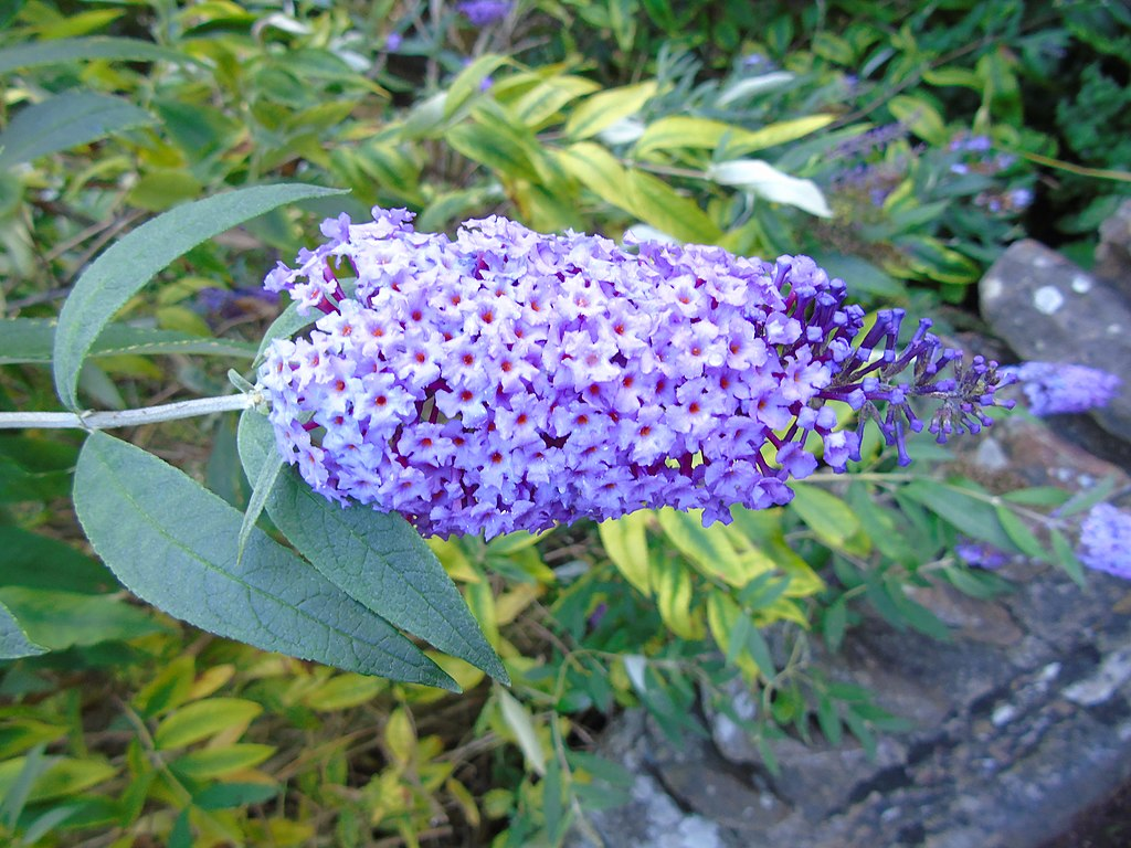 Butterfly bush (Buddleja davidii)