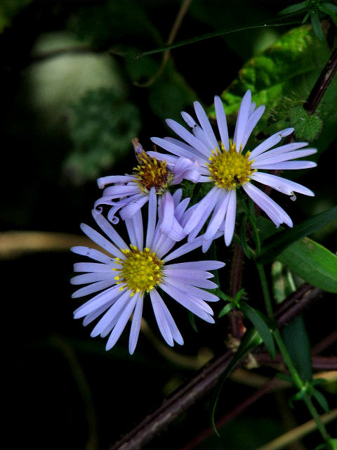 Michaelmas daisies (Asters)
