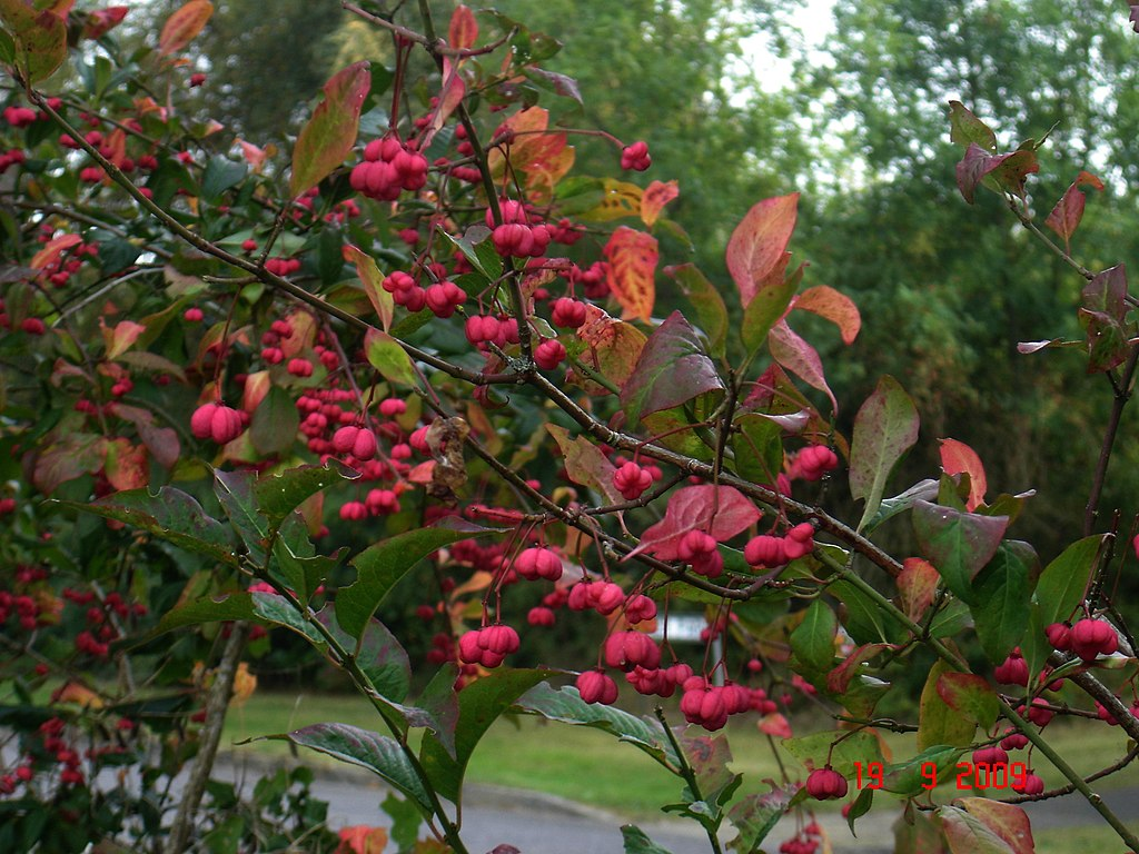 Spindle (Euonymous europeaus) 'Red Cascade'