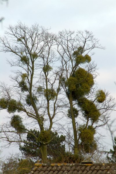 A tree heavily infected by mistletoe
