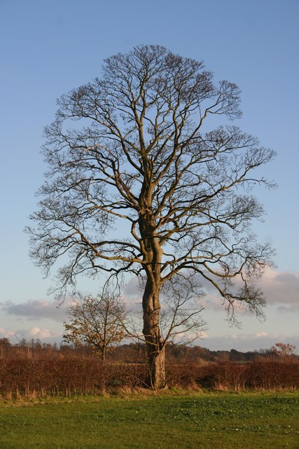 Beech tree on Long Farm Lane