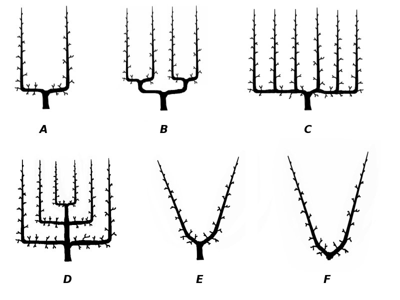 Traditional espalier forms of fruiting and ornamental trees and shrubs