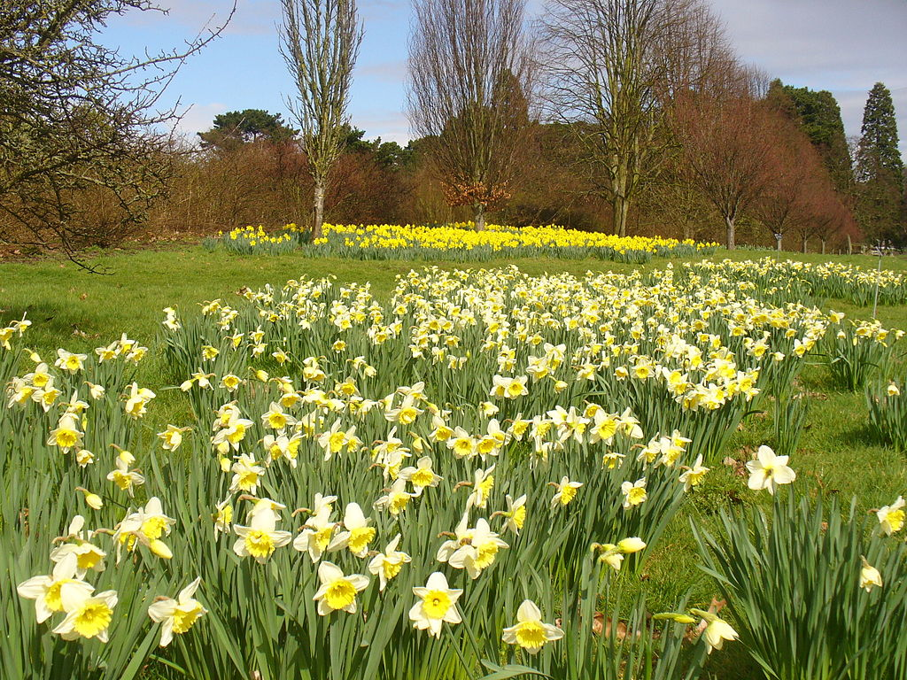 Narcissi by the arboretum