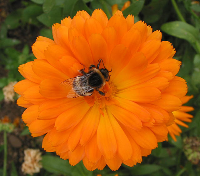 Bee feeding on marigold (Calendula)
