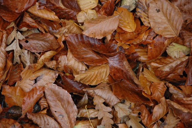 Fallen beech leaves, Lidcombe Wood, Stanway