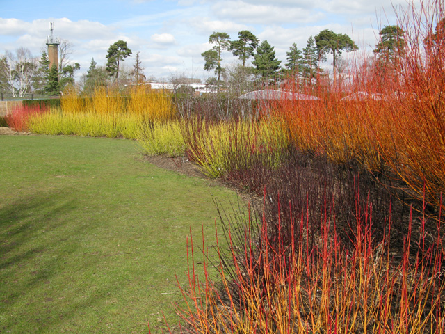 Late winter colour at Hadlow college (various dogwood species)