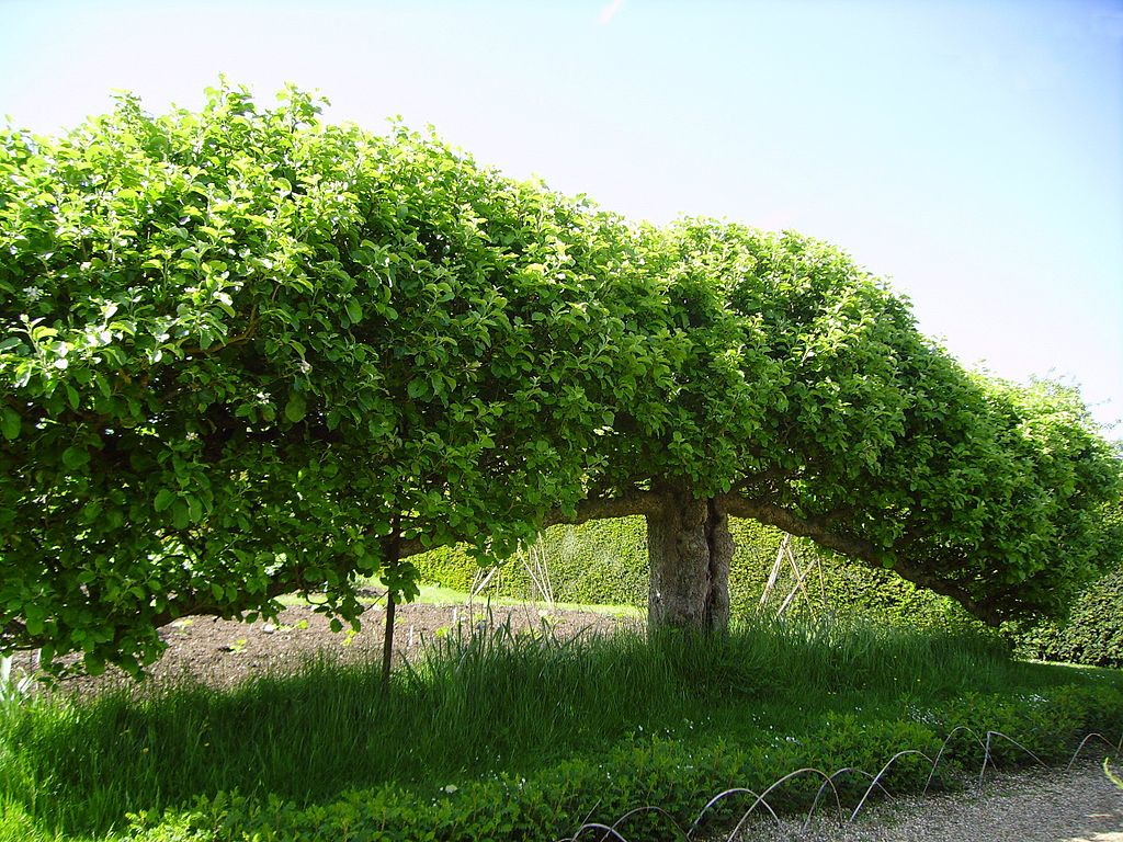 Espalier fruit tree at Standen, West Sussex