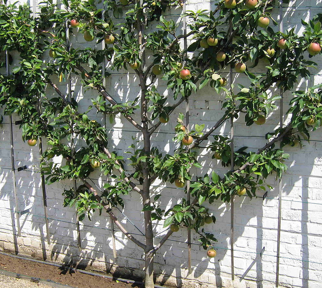 Fan espalier fruit tree