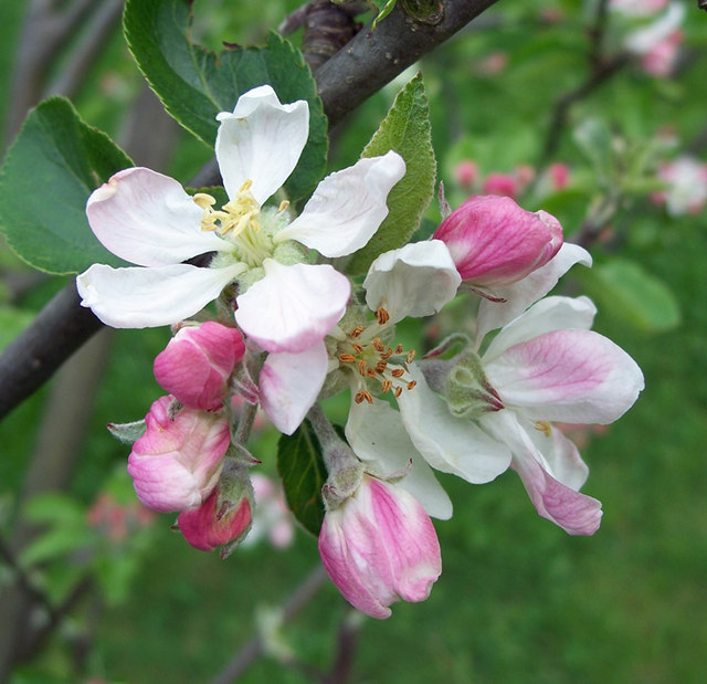 Apple blossom time