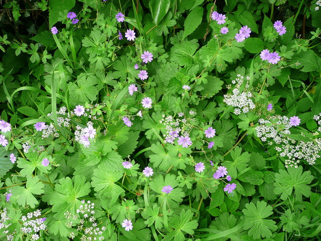 Two species by the roadside (ground elder and hedgerow cranesbill)