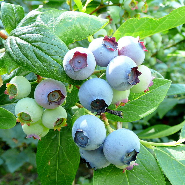 Ripening blueberry 'Blue crop'
