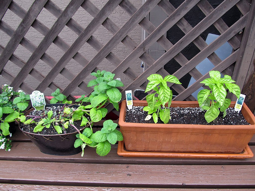 Herb containers (apple mint and Italian large-leaf basil)