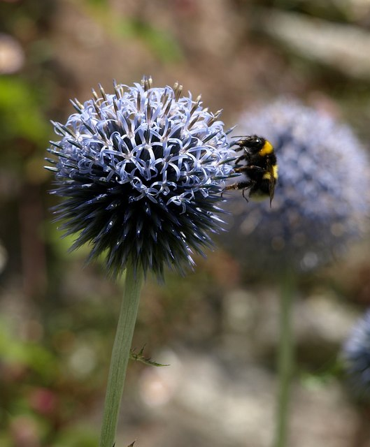 Bee on echinops, Dartington