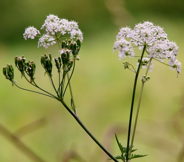 Cow parsley (Anthriscus sylvestris) flowers and seeds
