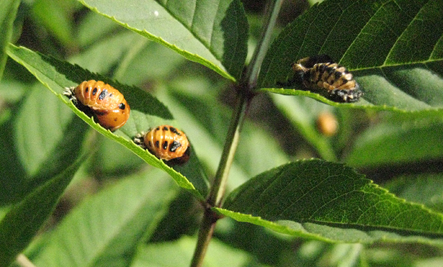 Ladybird pupae on ash leaves