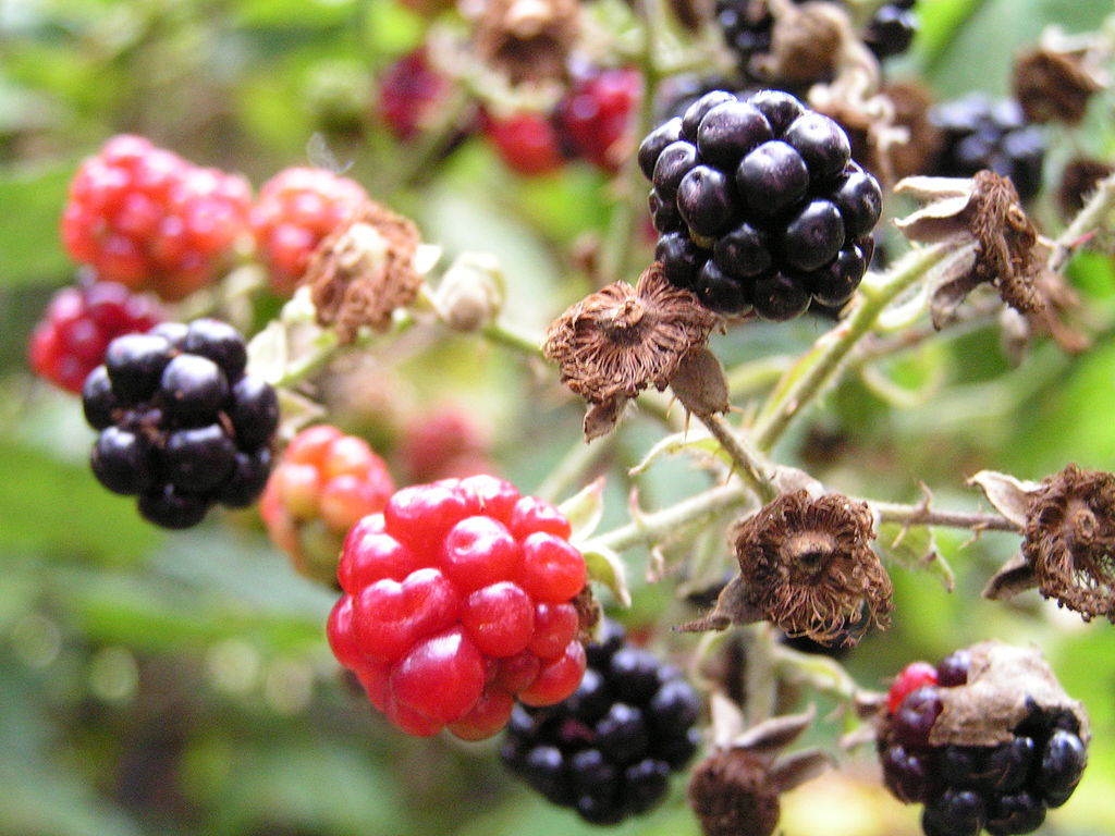 Ripe and unripe blackberries on branch