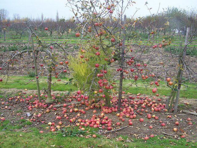 Last Apple Tree