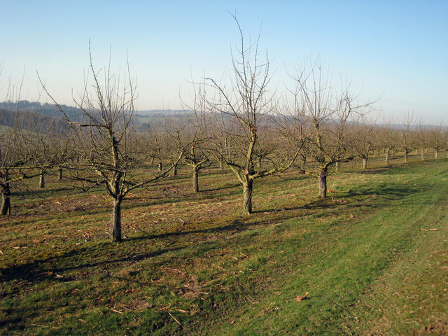 Recently pruned apple trees, Orchard near Lordship Wood