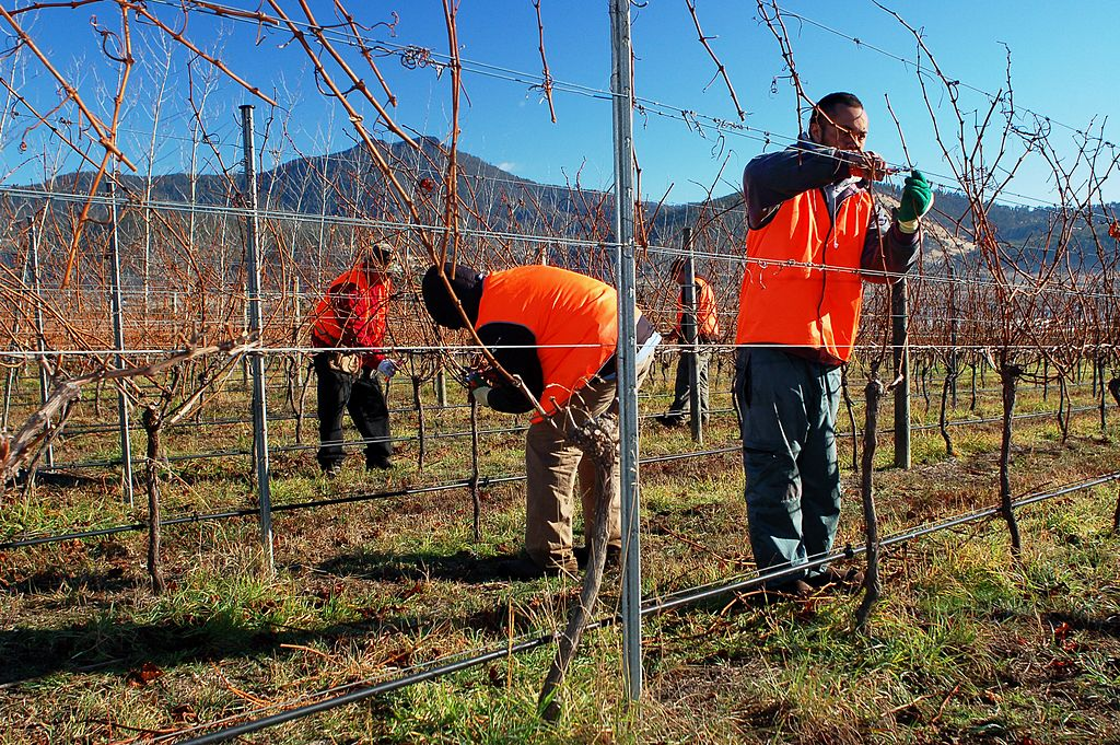 Winter pruning at Stefano Lubiana Wines Tasmania