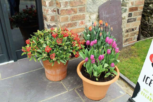 Skimmia japonica and tulips in pots